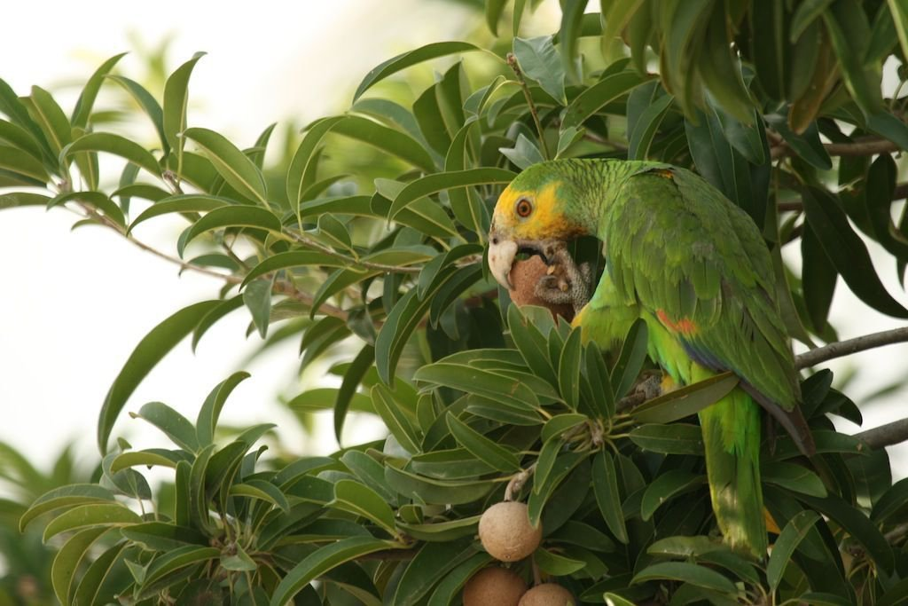 Yellow-shouldered Amazon Parrot eating mispel fruit (foto: Sam Williams)