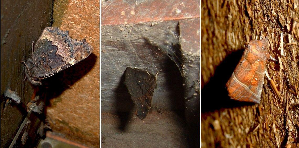 Vlinders die binnenshuis overwinteren: v.l.n.r. kleine vos, dagpauwoog en roesje (een nachtvlinder) (foto's: Kars Veling)