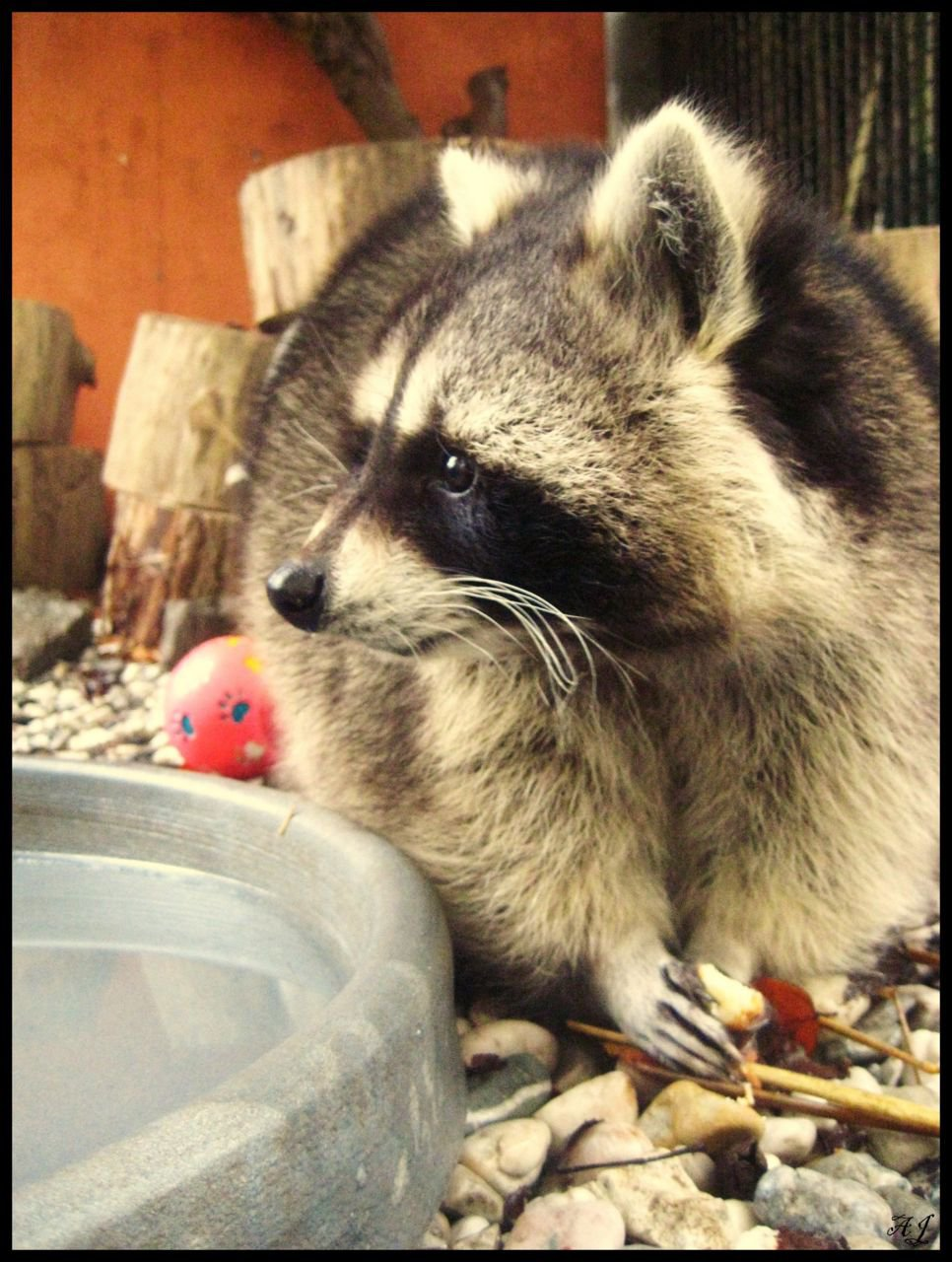 Hoewel het verboden is om zonder vergunning wasberen te houden, zijn ze toch vrij populair als huisdier. (foto: Annelies Janssens)