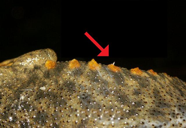 De puntige ribben van de Spaanse ribbensalamander die, bij gevaar, los door de huid worden gestoken als verdedigingsmechanisme (foto: Vaclav Gvozdik)