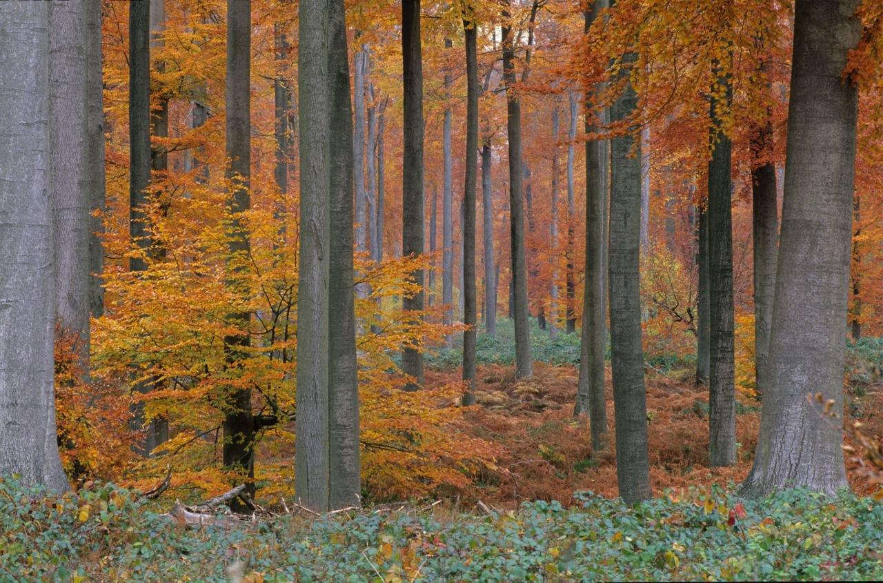 Een beukenbos in herfstkleuren. (foto: Hugo Willockx)