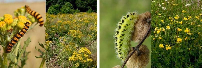 Zebrarups van sint-jacobsvlinder en waardplant jakobskruiskruid (links) en rups sint-jansvlinder en rolklaver (rechts) (foto's: Marieke van Dijk; Kars Veling)