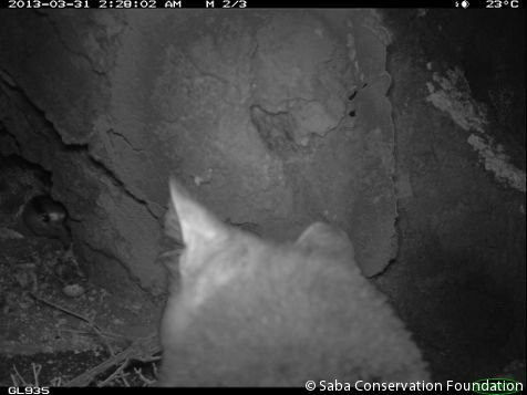 Red-billed Tropicbird defending nest against feral cat (photo: Saba Conservation Foundation)