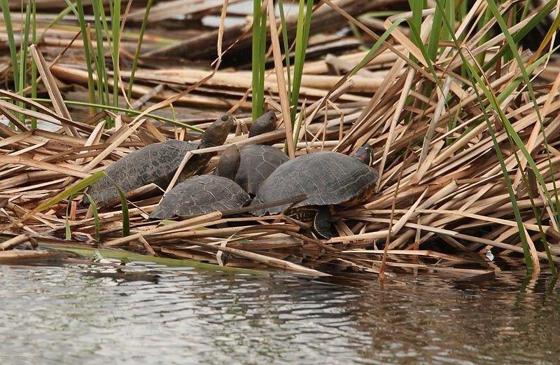 Een importverbod moet in Zuid-Europa de concurrentie tussen de inheemse Europese moerasschildpadden (links) en de uitheemse Roodwangschildpad (rechts) tegengaan (foto: Herman Blockx)