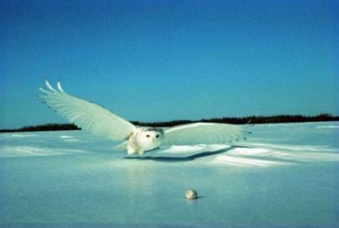 Natuurbericht: Geen sneeuw, maar wel een sneeuwuil...: www.natuurbericht.nl/?id=814