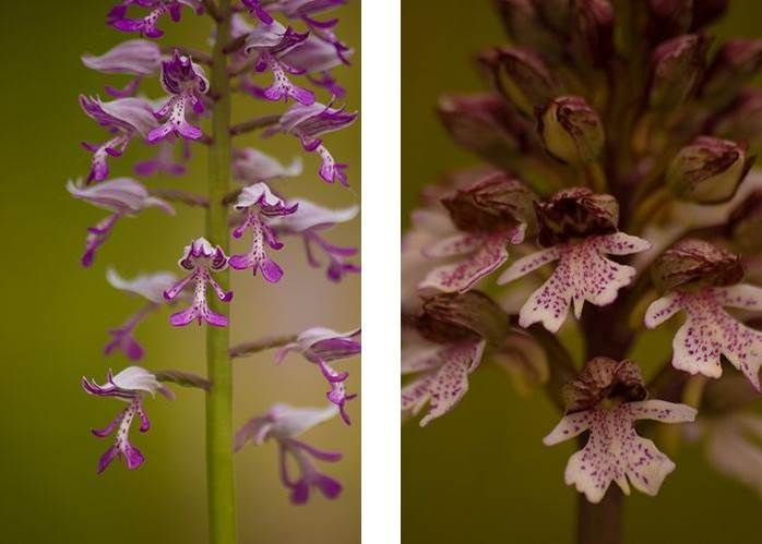 Links Soldaatje, rechts Purpeorchis (foto's: Mark Meijrink)