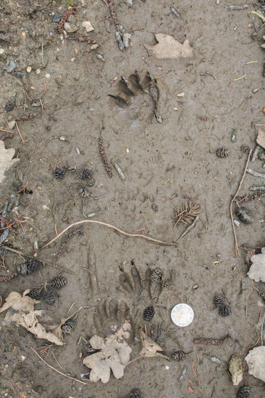 Wasbeersporen zijn gemakkelijk te herkennen aan de lange, vingerachtige tenen. (foto: Hans Van Loy)