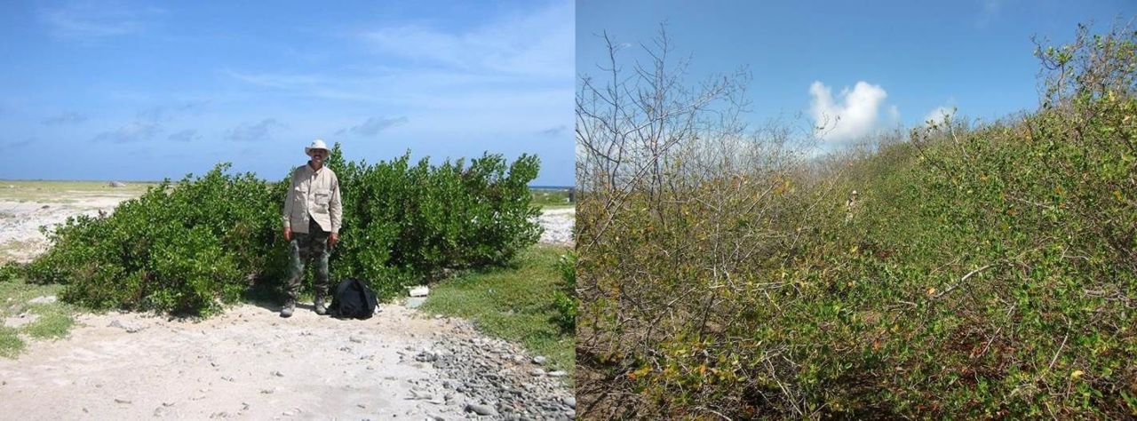 Evidence of successful reforestation. Photos taken in the same spot on Klein Curacao in 2005 (left) and 2013 (right). (photos: Dolfi Debrot)