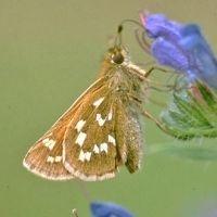De kommavlinder is voor verschuivingen bijna geheel aangewezen op natuurgebieden (foto: Kars Veling)