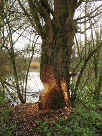 De Bever zorgt voor een dynamisch milieu door het omknagen van bomen (foto: Steven De Saeger)