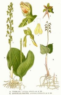 Keverorchis (afbeelding: Carl Axel Magnus Lindman)