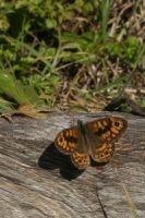 Het mannetje verdedigt een territorium van op een warm plekje (foto: Kars Veling)