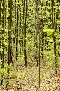 Beukenbos in het voorjaar (foto: Kars Veling)