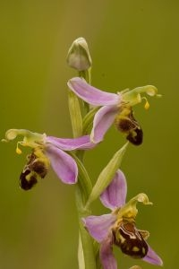 Bijenorchis (foto: Mark Meijrink)