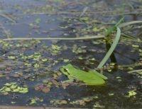 Voortplantingspoelen met helder water en veel waterplanten zijn uitermate geschikt voor de Boomkikker (foto: Marc Herremans)