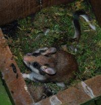 De Eikelmuis heeft het zwaar te verduren (foto: Johan Staelens)