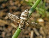Vliegen worden aangetast door Entomophthora muscae (foto: Paul Wouters en Marianne Horemans)