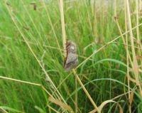 Eikenprocessievlinder uit grondnest (foto: Silvia Hellingman)