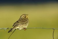 Akkerreservaten helpen bedreigde akkervogels als de Grauwe gors in stand te houden (foto: Hugo Willocx)