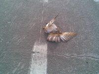 Veel Kerkuilen sterven in het verkeer (foto: Alain K)