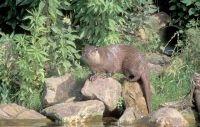 Een Otter in zijn habitat (foto: Mark Zekhuis/Saxifraga)