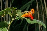 Oranje springzaad heeft een opvallende oranje bloem met rode vlekken (foto: Leo Vaes)