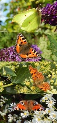 Vier soorten gaan als vlinder in winterslaap: van boven naar beneden citroenvlinder, kleine vos, gehakkelde aurelia en dagpauwoog (foto: Kars Veling)
