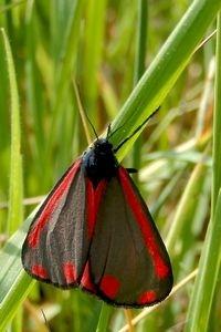 Sint-jacobsvlinder heeft rode stip en streep. Vliegend valt de felrode achtervleugel op (foto: Kars Veling)