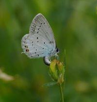 Eiafleggend Staartblauwtje, te herkennen aan het typische staartje aan de achtervleugel (foto: Marc Herremans)