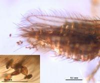 Kleine haartjes zorgen ervoor dat stuifmeel blijft plakken aan het achterlijf van de trips (foto: Enrique Peñalver, IGME)
