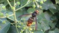 Mannetje Aziatische hoornaar in Flobecq (foto: Marcel Moncousin)