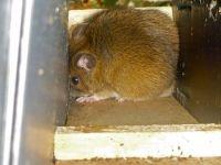 Volwassen mannetje Grote bosmuis in nestbuis voor Hazelmuis (foto: Rian Pulles)