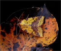 Wilgengouduil, een echte herfstsoort (foto: Marc Herremans)