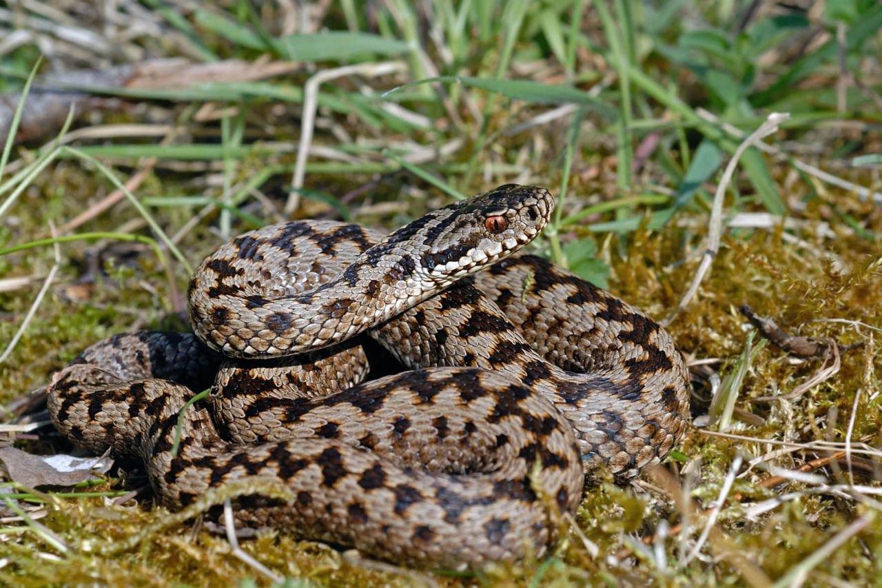 Adder, de favoriete hap van een Slangenarend (foto: Jan Van der Voort)