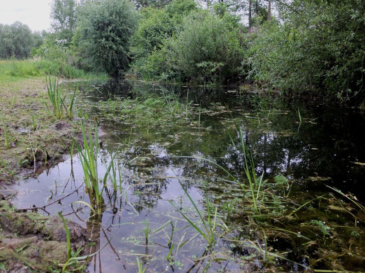 Een van de belangrijkste voortplantingspoelen in het Viskot in Linter: de waterkolom bevat helder water en een structuurrijke watervegetatie, en de poel valt af en toe eens droog (foto Iwan Lewylle)