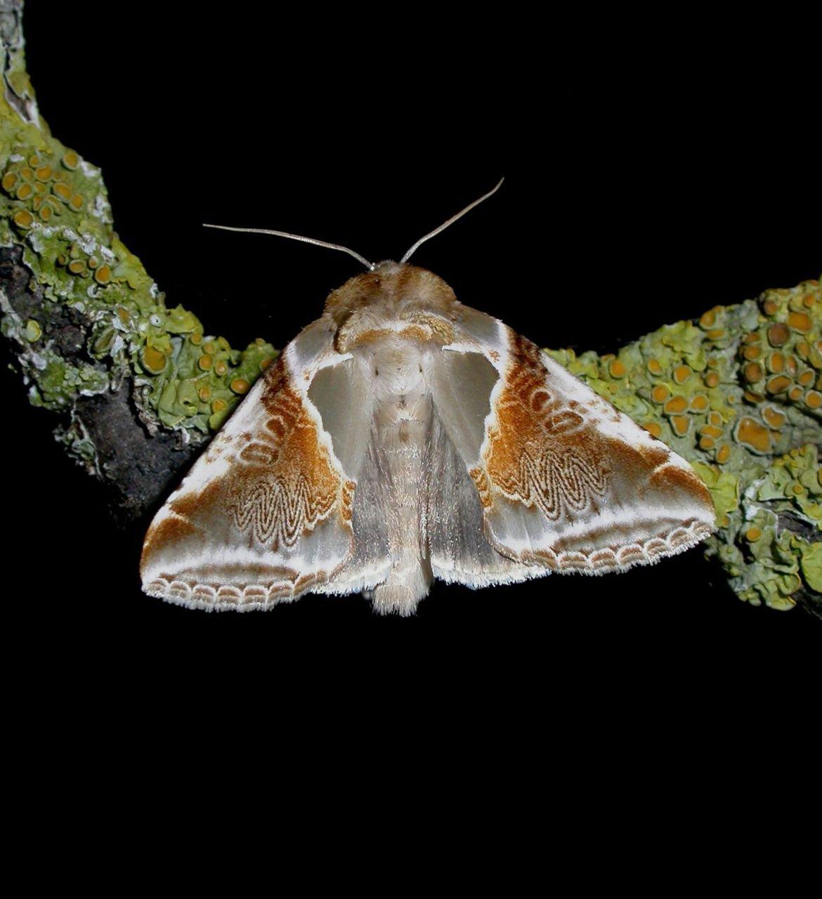 Totnogtoe werden in juni 2012 slechts 22 Vuursteenvlinders gemeld (foto: Marc Herremans)