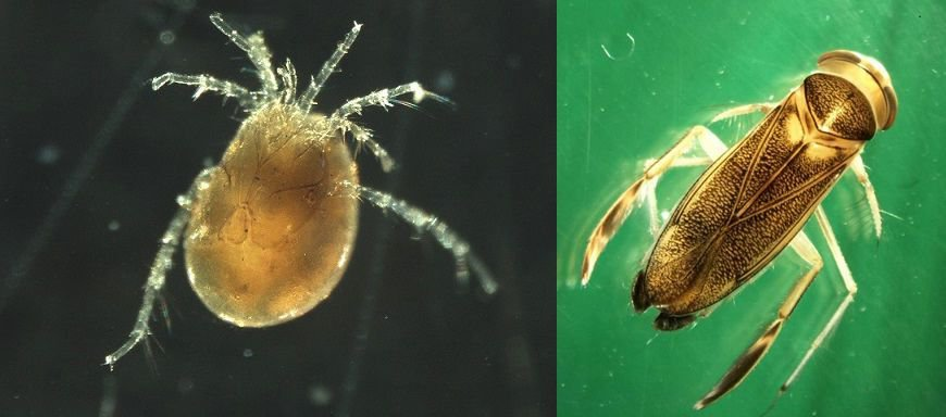 Links watermijt Lebertia oblonga en rechts de wants Cymatia rogenhoferi (foto: AQUON)
