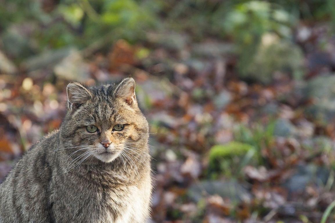 Wilde kat (©foto: Bob Luijks)