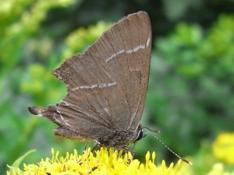Tweekoppige vlinder na een aanval (foto: Bart Hanssens)