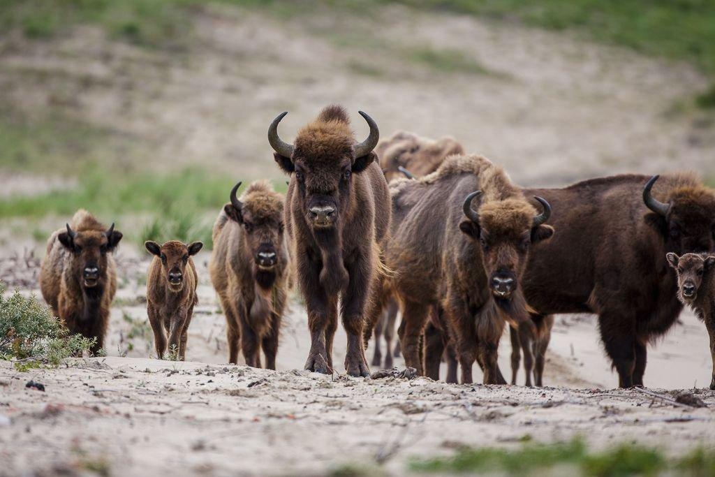 Wilde dieren hebben robuuste, wilde natuur nodig. (foto: Rudd Maaskant, PWN)