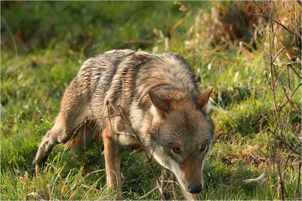 De wolf komt eraan, maar voorbereid zijn we nog niet. (foto: FREE Nature)