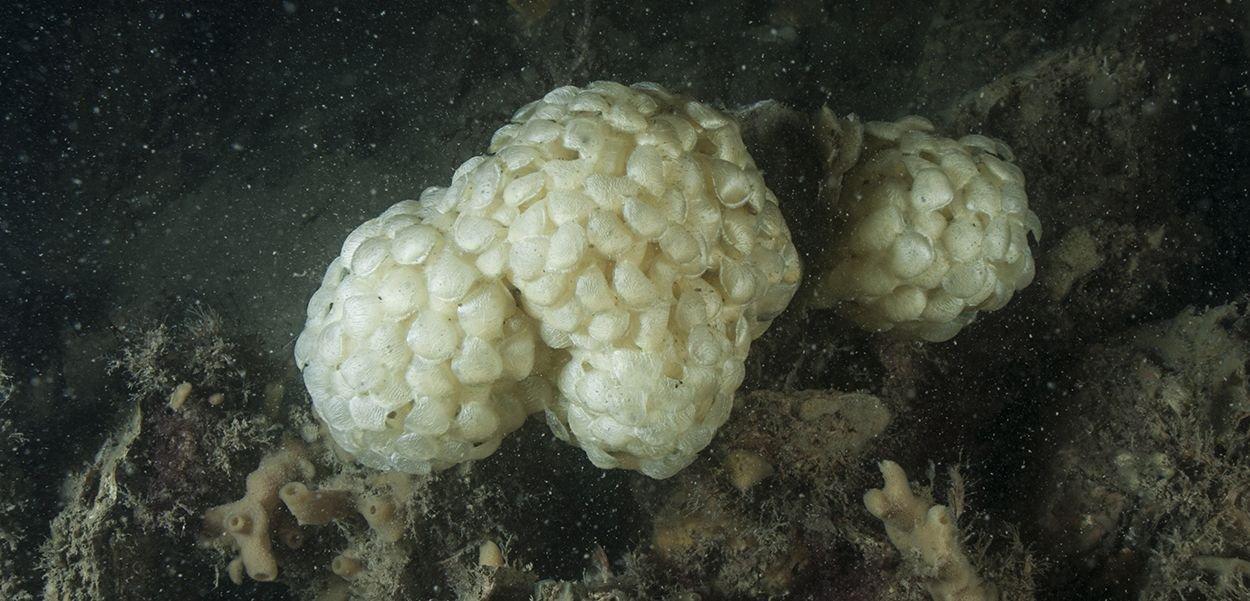 Eikapsels van Wulken zijn ongeveer zo groot als een tennisbal (foto: Peter H van Bragt)
