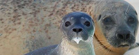 Zeehondenpups drinken melk wanneer ze aan land kunnen (foto: Salko de Wolf)