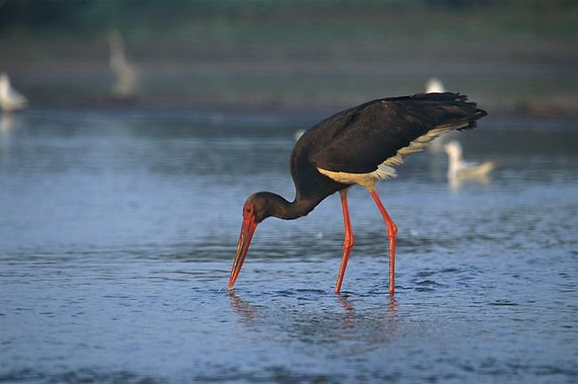 http://www.natuurbericht.nl/images1/zwarte_ooievaar_ciconia_nigra_1_marek_szczepanek.jpg