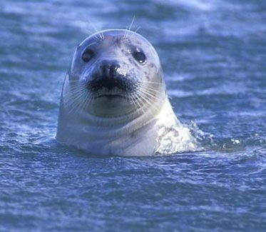 Onderzoekers vermoeden dat zeehonden doelgericht windmolenparken opzoeken om te eten (Foto: Rollin Verlinde)